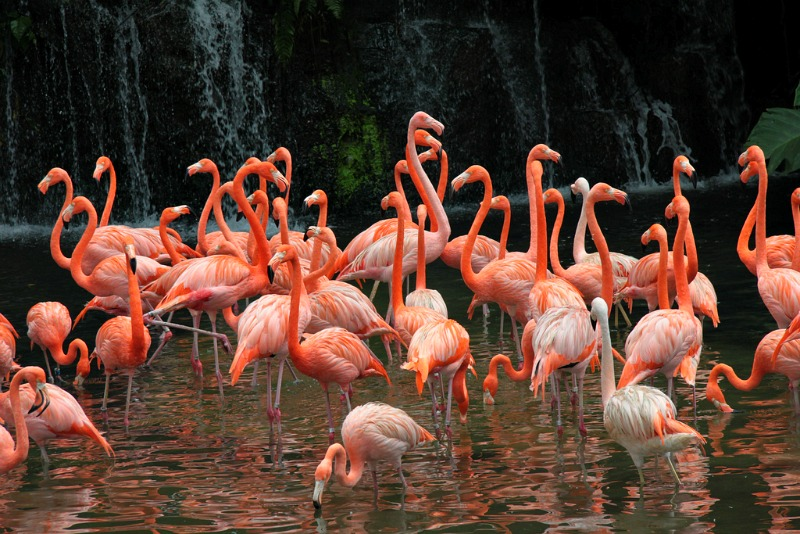 A flock of pink flamingos at Jurong Bird Park