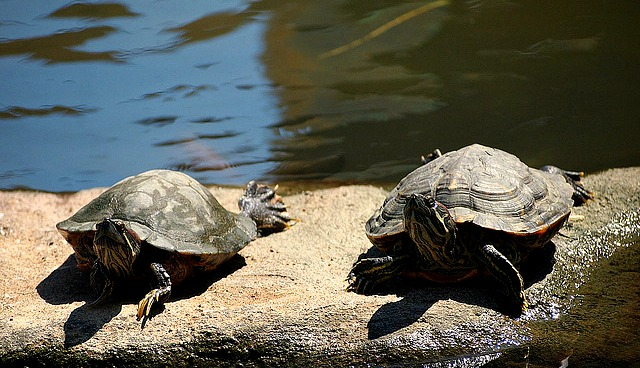 A pair of turtles in Pasig Rainforest Park